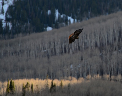 A red tail hawk soaring near South Thompson Creek, near Carbondale.