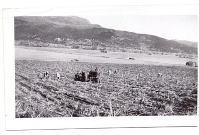 A historic photo of a a potato harvest on the Saltonstall property in the mid-valley.