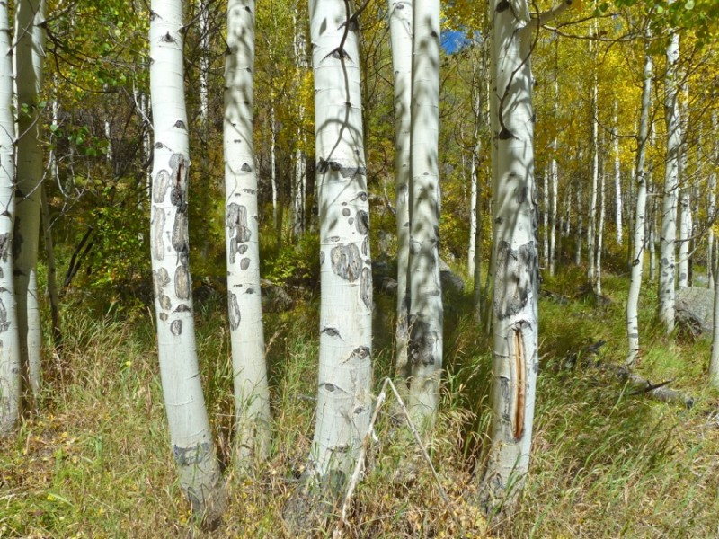 It is clear that humans are not the only fans of the Hunter Creek valley. Elk, for example, like the aspen trees there.