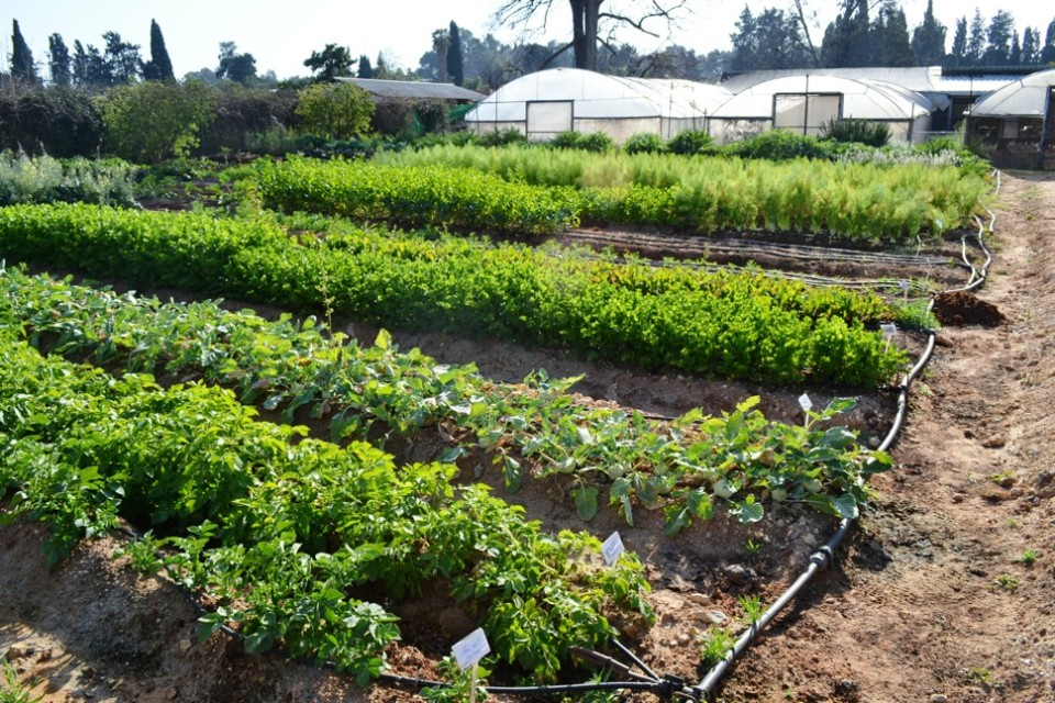 Drip irrigation is the key to producing year-round food crops at this moshav near Tel Aviv.