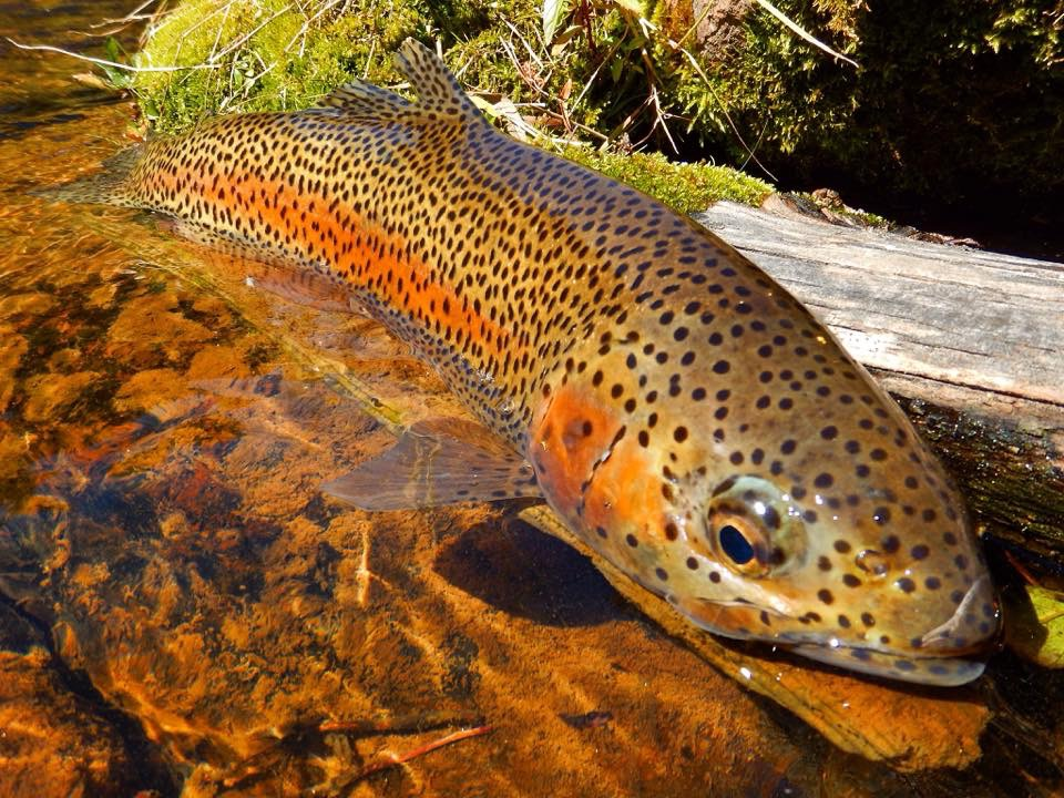 A big trout in the Fryingpan River, a prize sought by many.