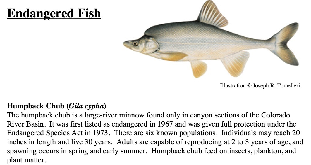 Humpback chub graphic