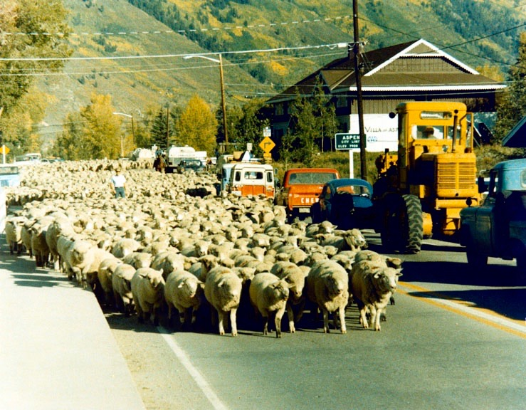 Sheep being driven across the Castle Creek bridge from their summer range in the mountains, in 1967. Sheep were grazed on the ski areas in Aspen and Snowmass until the early 1980s.